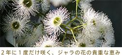 2年に1度しか咲かないジャラハニーの花