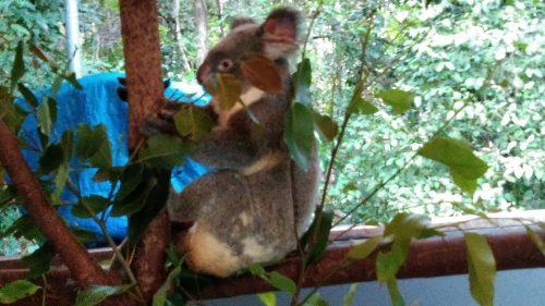 ケアンズ旅行記のコアラ