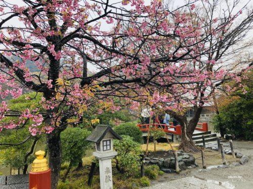 鎌倉八幡宮の桜