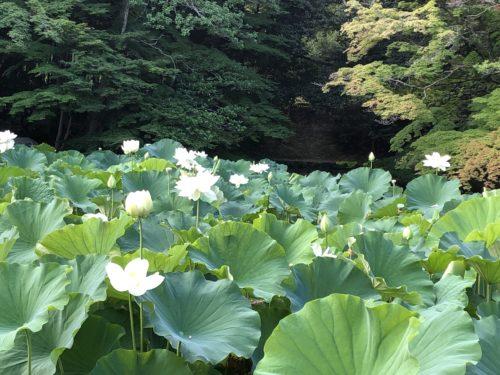 観蓮会の蓮の花